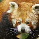 Red Panda by sbarnesphotos