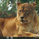 Lionesse by sbarnesphotos