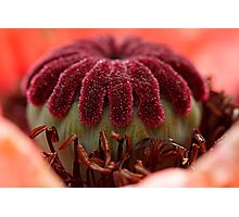 poppy head Photographic Print