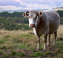A Cow Somewhere on the Fleurieu Peninsula by Ben Loveday