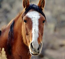 Wild Horses in Palomino Valley Nevada by SB  Sullivan