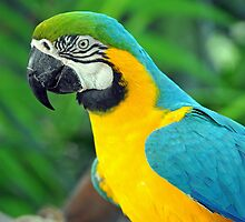 Blue & Yellow Macaw, Singapore. (2) by Ralph de Zilva