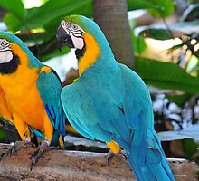 Blue & Yellow Macaws, Singapore. (2) by Ralph de Zilva