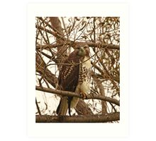 Red-Tailed Hawk Looking Right at Me Art Print