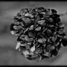 Old B&W flower by apsjphotography