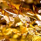 It Rained Gold by Katayoonphotos