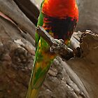 Rainbow Lorikeet by Ian Creek