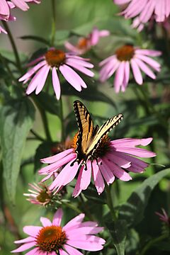 Echinacea with Butterfly 8835 by Thomas Murphy