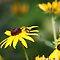 Black Eyed Susan with Beetle 8624 by Thomas Murphy