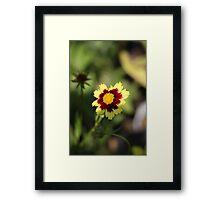 Calliopsis 6775 Framed Print