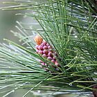 Pine Cone 3075 by Thomas Murphy