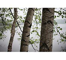 One Two Three Birch Tree 3238 Photographic Print