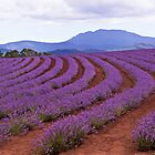 Lavender Contours - Bridestowe Estate, Tasmania by TonyCrehan