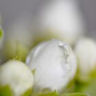 White/green flower, macro shot by Remco den Hollander