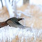 Wild Turkey Flight by Jim Cumming