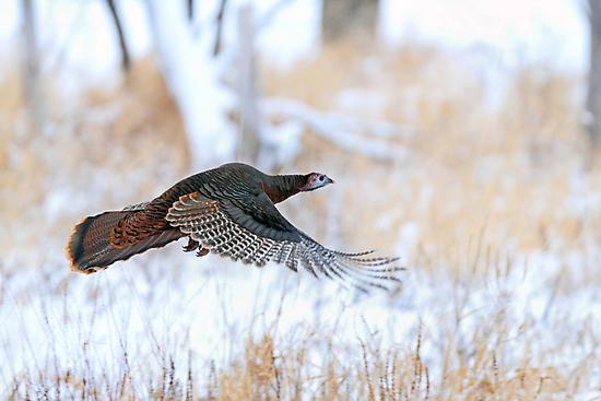 Wild Turkey Flight by Jim Cumming