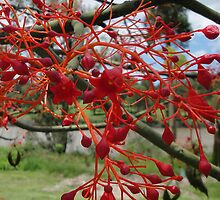 Flame Tree Flowers Close Up by STHogan