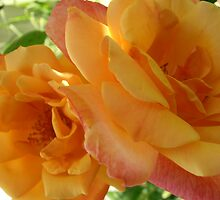 Sun Kissed Blooms, Roses,Tumut, Australia. by kaysharp