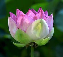 ~ Lotus ~ by Leeo