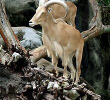 Barbary Sheep by Paul Todd