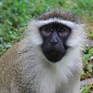 Vervet monkey by Hannah Nicholas