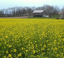 Wild Yellow Mustard in Meadow with Barn by TrendleEllwood