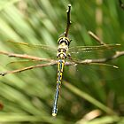 Dragonfly by RobsVisions
