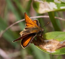 Skipper Butterfly by Ashley Beolens