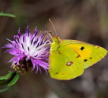 Clouded Yellow Butterfly by Ashley Crombet-Beolens