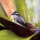 Bananaquit Bath by Jillian Johnston