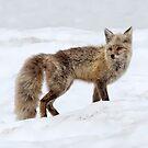 Cascade Fox by Janet Fikar