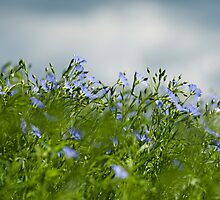 Linseed by Anne Gilbert