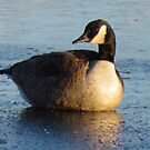 Goose On Ice by lorilee