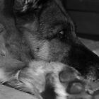 German Shepherd at rest by MsHannahRB