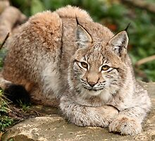 Relaxing Lynx by Mark Hughes