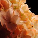 Orange Hydrangeas by Robin Lee