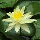 Yellow Waterlily with Waterdrops by Eve Parry