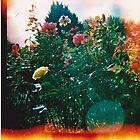 Diana Summer Roses by klarutshka