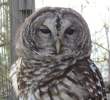 Barred owl by jackiepopp