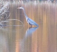Great Blue Heron  by jackiepopp