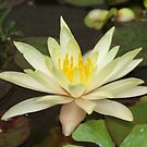Water Lily - Adelaide, South Australia by BreeDanielle