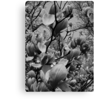 Spring in black and white..in a brave new world Canvas Print
