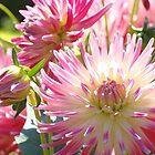 Floral art prints Pink White Sunlit Dahlia Flowers by BasleeArtPrints