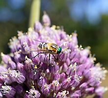 Unusual Blue-eyed Fly - Wattle Hill, near Great Ocean Road by Henry Inglis