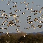 Wigeon Flock by Lauren Tucker