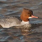 Goosander by Lauren Tucker