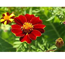Red marigold Photographic Print