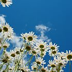 Summer Daisies by Jeff Hathaway