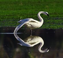 Trumpeter Swans  by j Kirk Photography                      Kirk Friederich