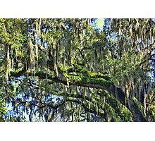 Live Oak Trees With Spanish Moss Photographic Print